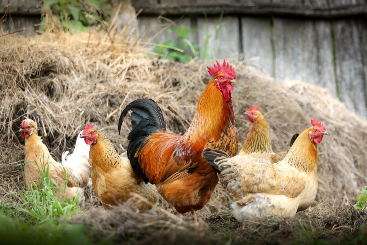 5 Reasons You Should Keep Chickens in Your Backyard